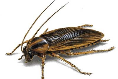 control de plagas cucaracha