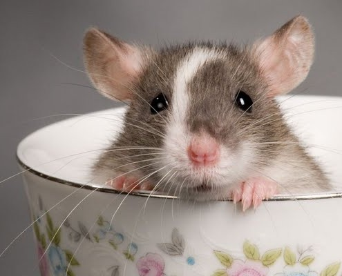control de plagas ratones