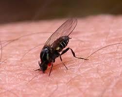 control de plagas mosca negra
