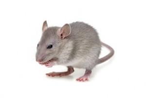 control de plagas ratón