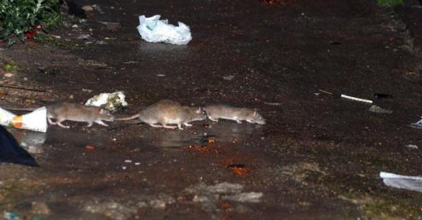 Control de plagas ratas